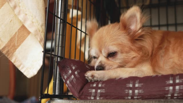 a dog relaxing in the kennel. - overweight dog stock videos & royalty-free footage