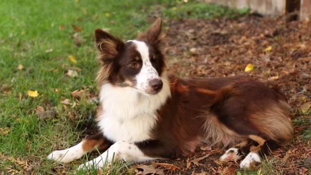 stockvideo's en b-roll-footage met dog relaxing in yard - australische herder