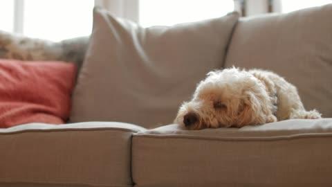 hund auf dem sofa entspannen - schwenk stock-videos und b-roll-filmmaterial
