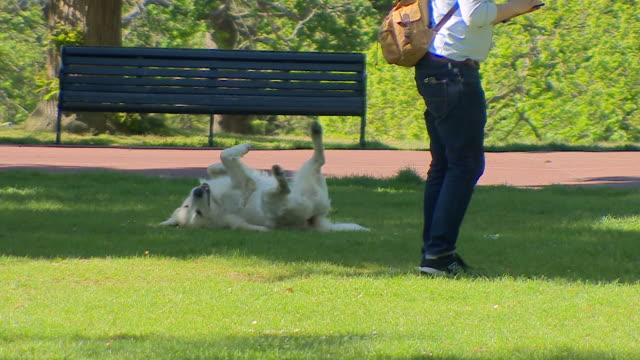 dog rolling in grass in park on bright sunny day london - springtime stock videos & royalty-free footage