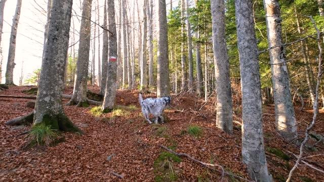 vídeos de stock e filmes b-roll de dog runnig around hunting in the mountain forest, abetone, tuscany, italy - raça pura