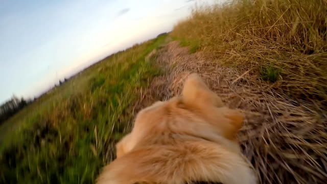 slo mo pov dog running along his owner - golden retriever stock videos and b-roll footage