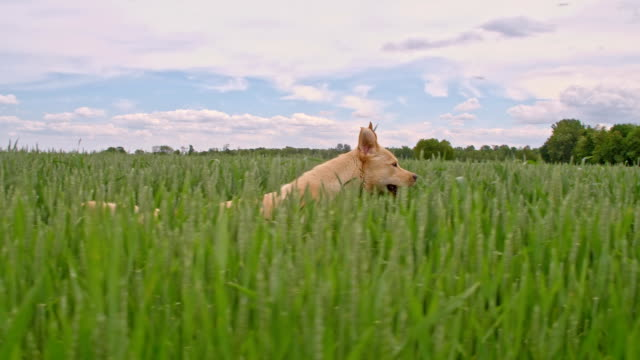 SLO MO Dog running among green barley ears