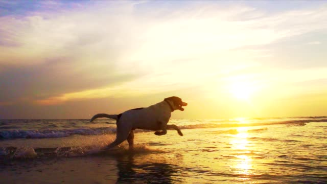 dog running at the beach - dog stock videos & royalty-free footage