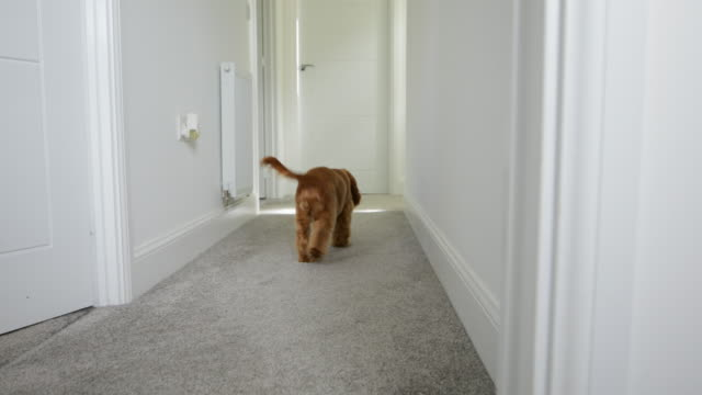 dog running down hallway - spaniel stock videos and b-roll footage
