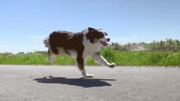 Dog running fast on road