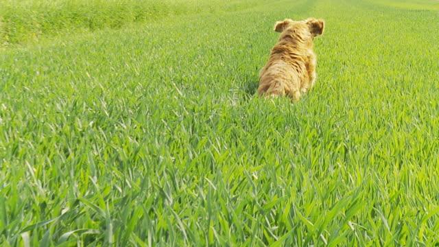 hd スローモーション:犬のランニング、スティック - 棒切れ点の映像素材/bロール