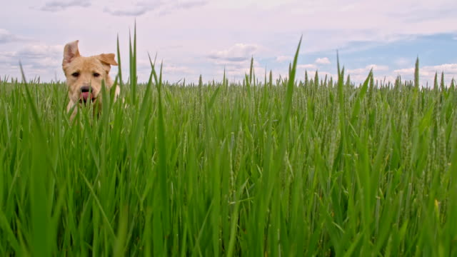 SLO MO Dog running in a field of green barley