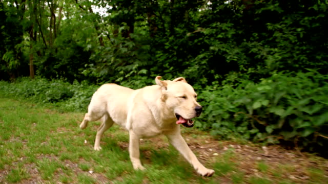 slo mo dog running in grass along the forest - retriever stock videos & royalty-free footage
