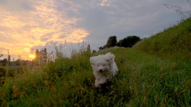 SLO MO Cão correr na Relva ao pôr do sol