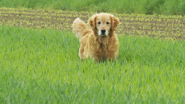 hd slow-motion: dog running in grass - golden retriever stock videos and b-roll footage