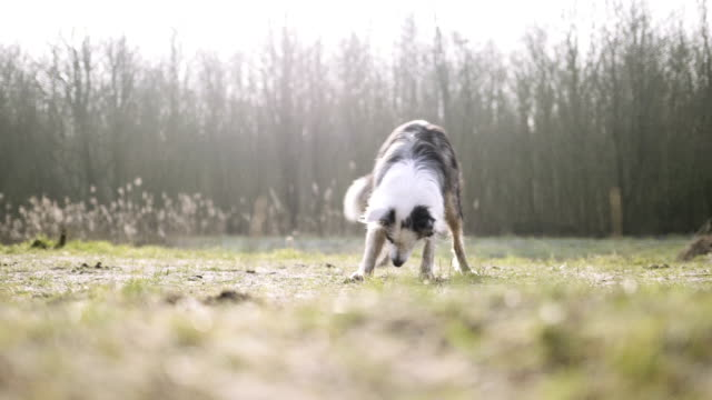 dog running in park - border collie stock videos & royalty-free footage