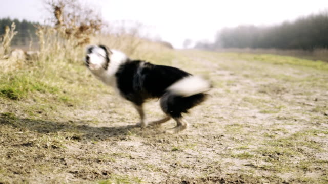 dog running in park - collie stock videos & royalty-free footage