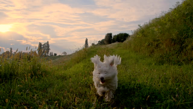 slo mo dog running in the grass - puppy stock videos & royalty-free footage