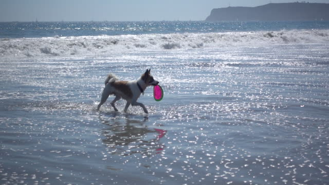 A dog running on a dog beach. - Slow Motion