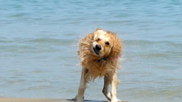 hund laufen am strand - nass stock-videos und b-roll-filmmaterial