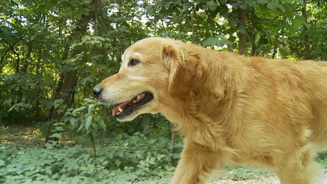hd slow-motion: dog running on dirt road - golden retriever stock videos and b-roll footage