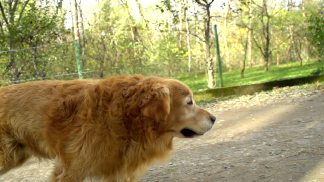 hd super slow-mo: dog running on dirt road - golden retriever stock videos and b-roll footage