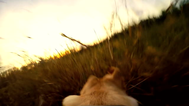 slo mo pov dog running over the field - pursuit sports competition format stock videos and b-roll footage