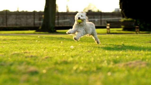 dog running slow motion - practising stock videos & royalty-free footage