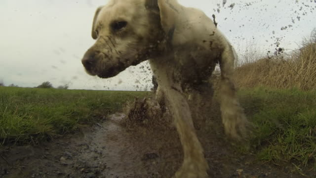 dog running through a muddy puddle - mud stock videos & royalty-free footage