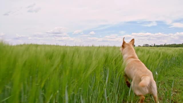 slo mo hund laufen durch die gerste - flüchten stock-videos und b-roll-filmmaterial