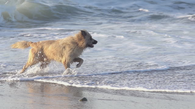 Dog running through waves, beach near Biarritz in the South West of France, Slow Motion