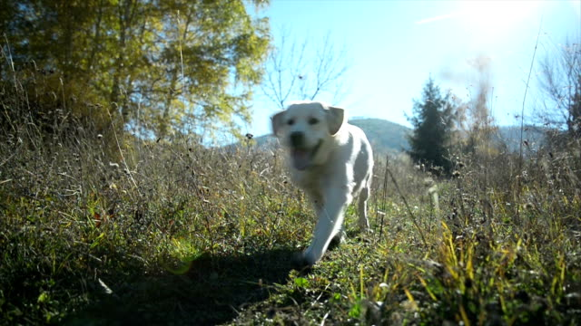 dog running - grass family stock videos & royalty-free footage