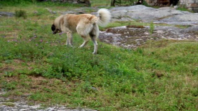 vídeos y material grabado en eventos de stock de perro corriendo - perro cazador