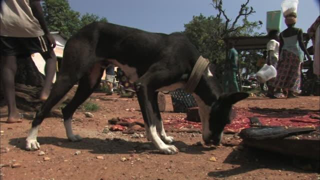 vídeos y material grabado en eventos de stock de a dog scavenges scraps at an open air market in benin. - hurgar en la basura