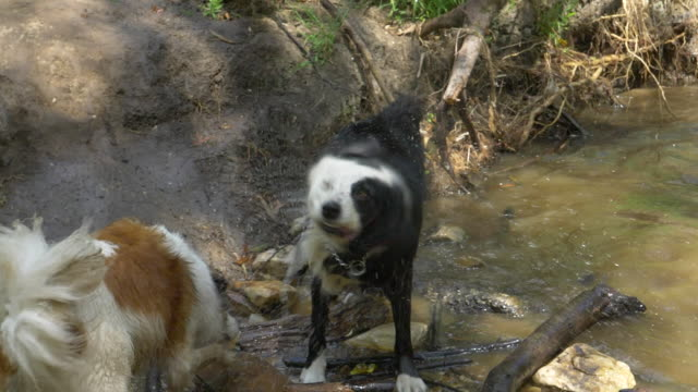 A dog shakes to get dry after swimming in a stream. - Slow Motion