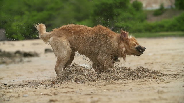 Dog shaking his body on the beach shore with slow motion shot.