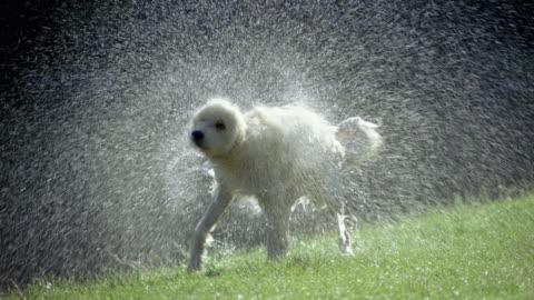 vídeos de stock, filmes e b-roll de slo mo, ms, dog shaking off water on lawn, dorset, vermont, usa - molhado