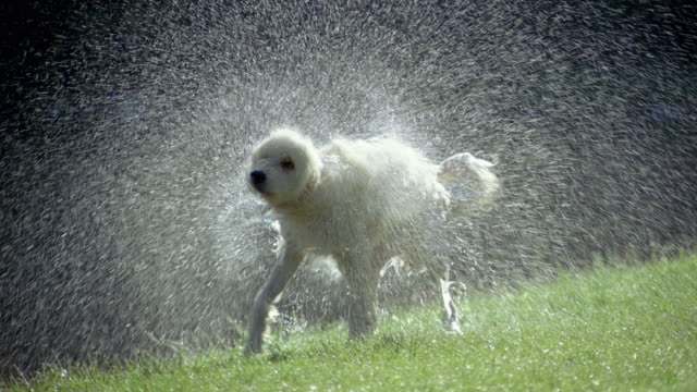 slo mo, ms, dog shaking off water on lawn, dorset, vermont, usa - shaking stock-videos und b-roll-filmmaterial