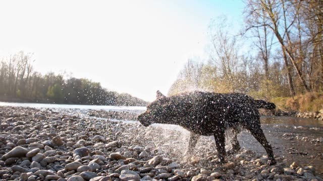 slo mo dog shaking off water - drying stock videos and b-roll footage