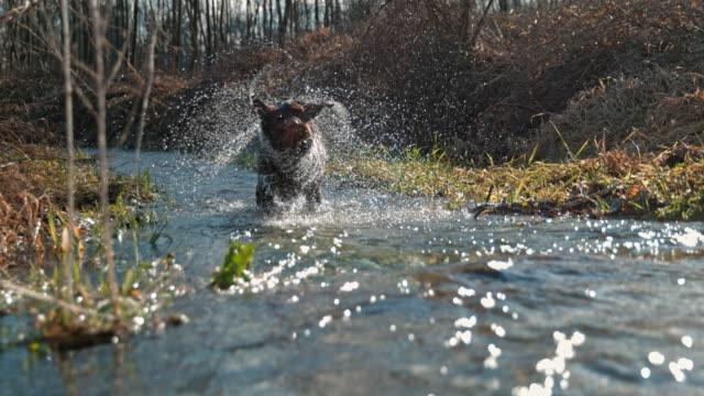 stockvideo's en b-roll-footage met slo mo hond afschudden van water - schudden