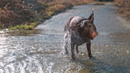 SLO MO Dog shaking off water