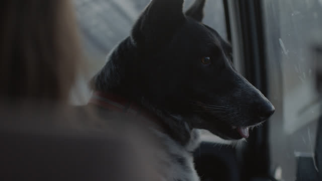 cu ots. dog sits in passenger lap and looks out car window on road trip. - pet owner stock videos & royalty-free footage
