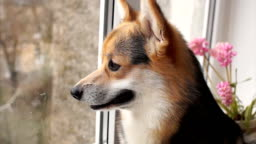 Dog sits on the windowsill of his house and looks out the window.