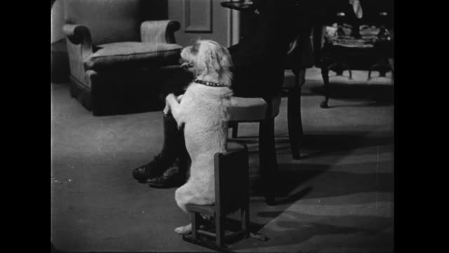 vídeos de stock e filmes b-roll de 1957 dog sits to attention in small wooden chair - 1957