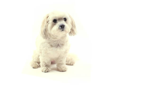 dog sitting - white background stock videos & royalty-free footage