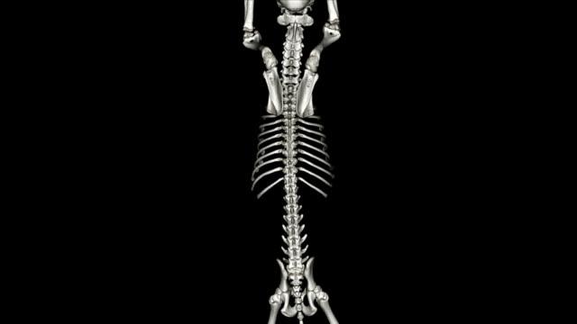 dog skeleton - animal vertebra stock videos and b-roll footage