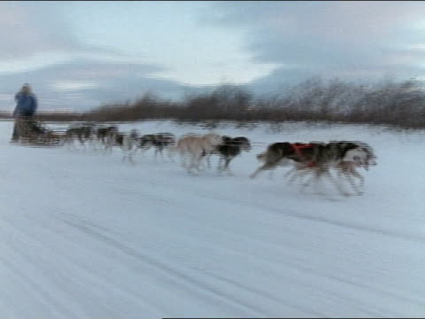 Dog sled moves along cold snow covered Alaskan landscape driver unidentifiable dogs pull sled into frame ZO to include dogs in frame