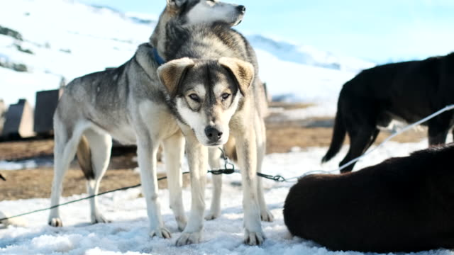 dog sledding in the catalan pyrenees, resting after a long work day. - resting stock videos & royalty-free footage
