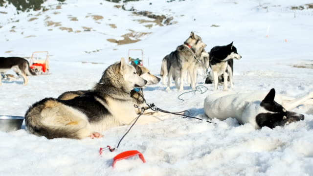 dog sledding in the catalan pyrenees, resting after a long work day. - husky stock videos & royalty-free footage