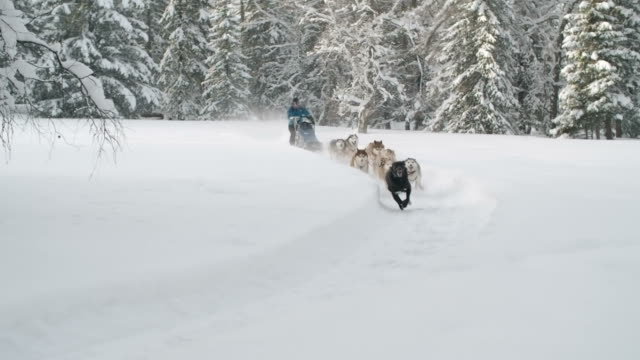 Dog sledding race through snow