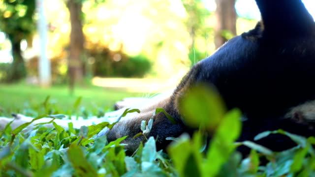 Hund Schlaf auf dem Rasen.