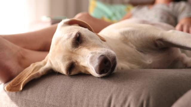 vídeos de stock, filmes e b-roll de cão dormindo profundamente no sofá enquanto seu dono o acaricia - aconchegante