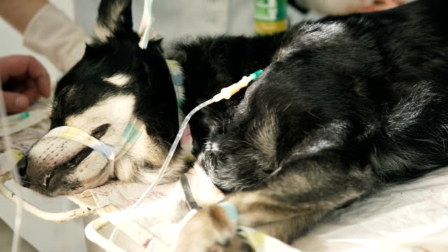 a dog sleeping on an i.v after surgery - operating stock videos & royalty-free footage