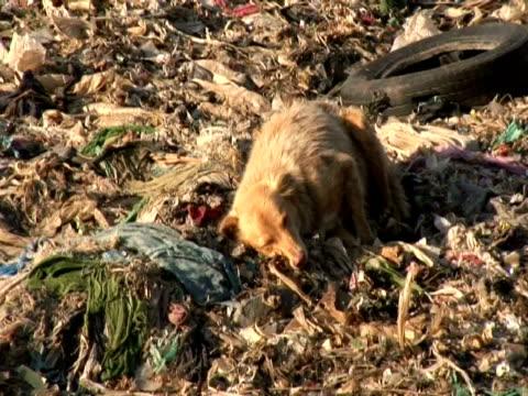 dog (canis lupus familiaris) sleeping on rubbish dump, mumbai, india - ゴミ捨て場点の映像素材/bロール